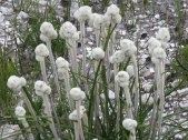 Linaria lanata