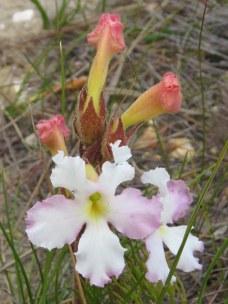 Harveya capensis