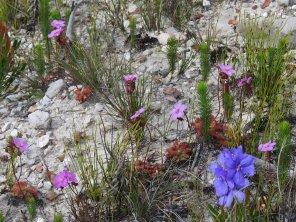 Drosera and Aristea blooms