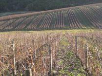 Vines before pruning