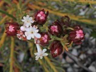 Gnidia piniflora
