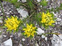 Aspalathus aspalathoides