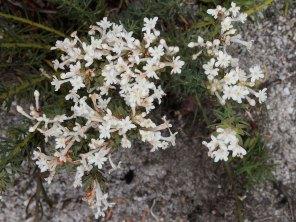 Gnidia pinifolia