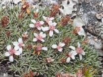 Bryomorphe aretioides