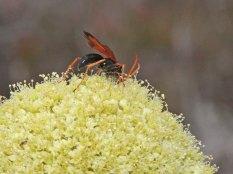 Hermas villosa with pollinator