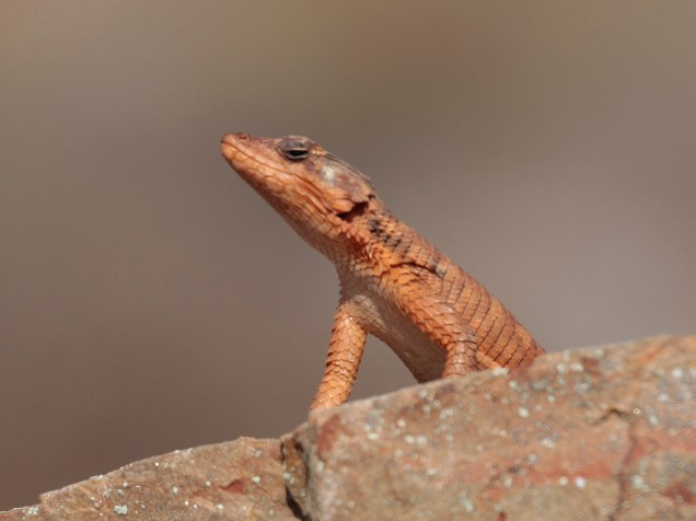 A sunbathing Lizard
