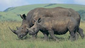 White Rhinoceros (Ceratotherium simum), and calf