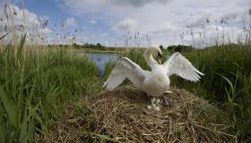 Mute Swan (Cygnus olor) nesting in reed bed, Norfolk, UK (5 of 5)