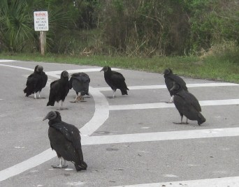 Vultures wait for cars to arrive in the lakeside parking lot at Myakka River State Park near the sign warning visitors to beware
