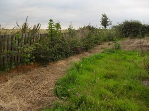 Trees planted as a hedge in  my field