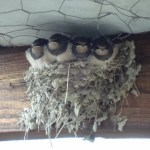 swallows (4)