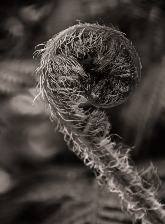 Fiddle Head - Australian Tree Fern