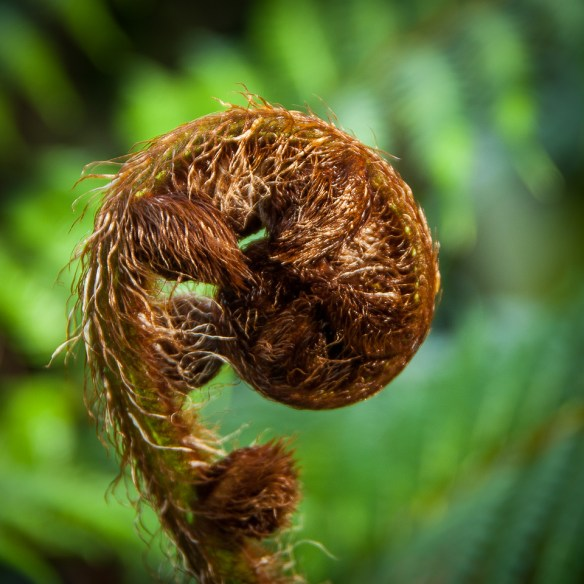Tree Fern Fiddlehead