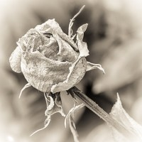 Macro Monday - A Rose and a Variation