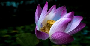 Lotus Bloom photo