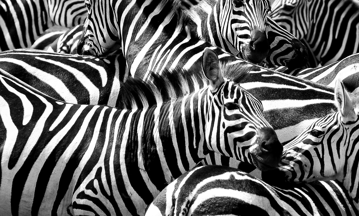 Zebras Between the Lines photo