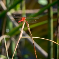 Dragonflies of Summer