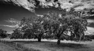 The Florida Landscape - live oak trees in a pasture