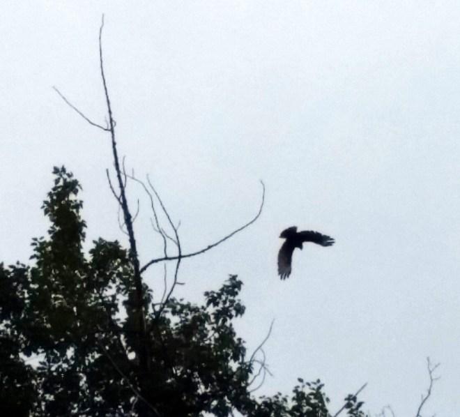 """Mare's pet eagle, """"Screamer"""""""