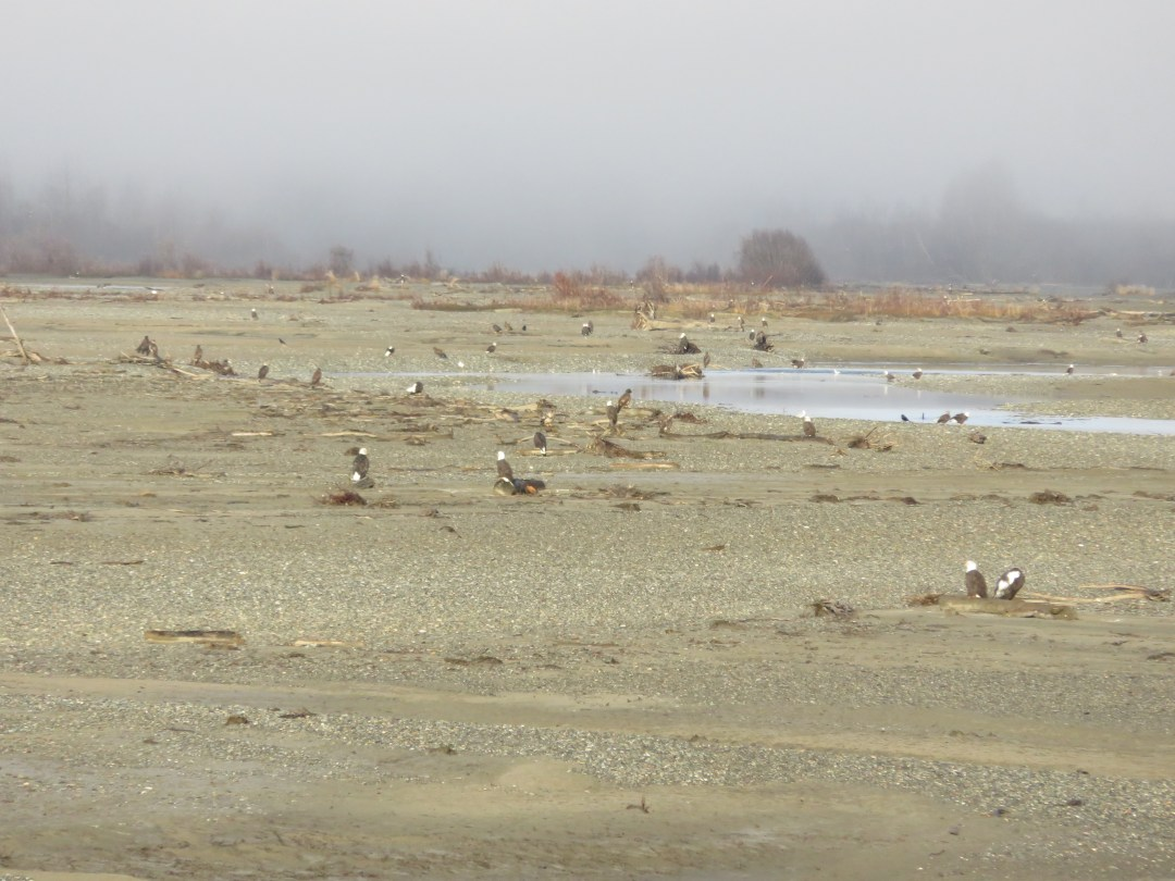 Eagles on the Chilkat River