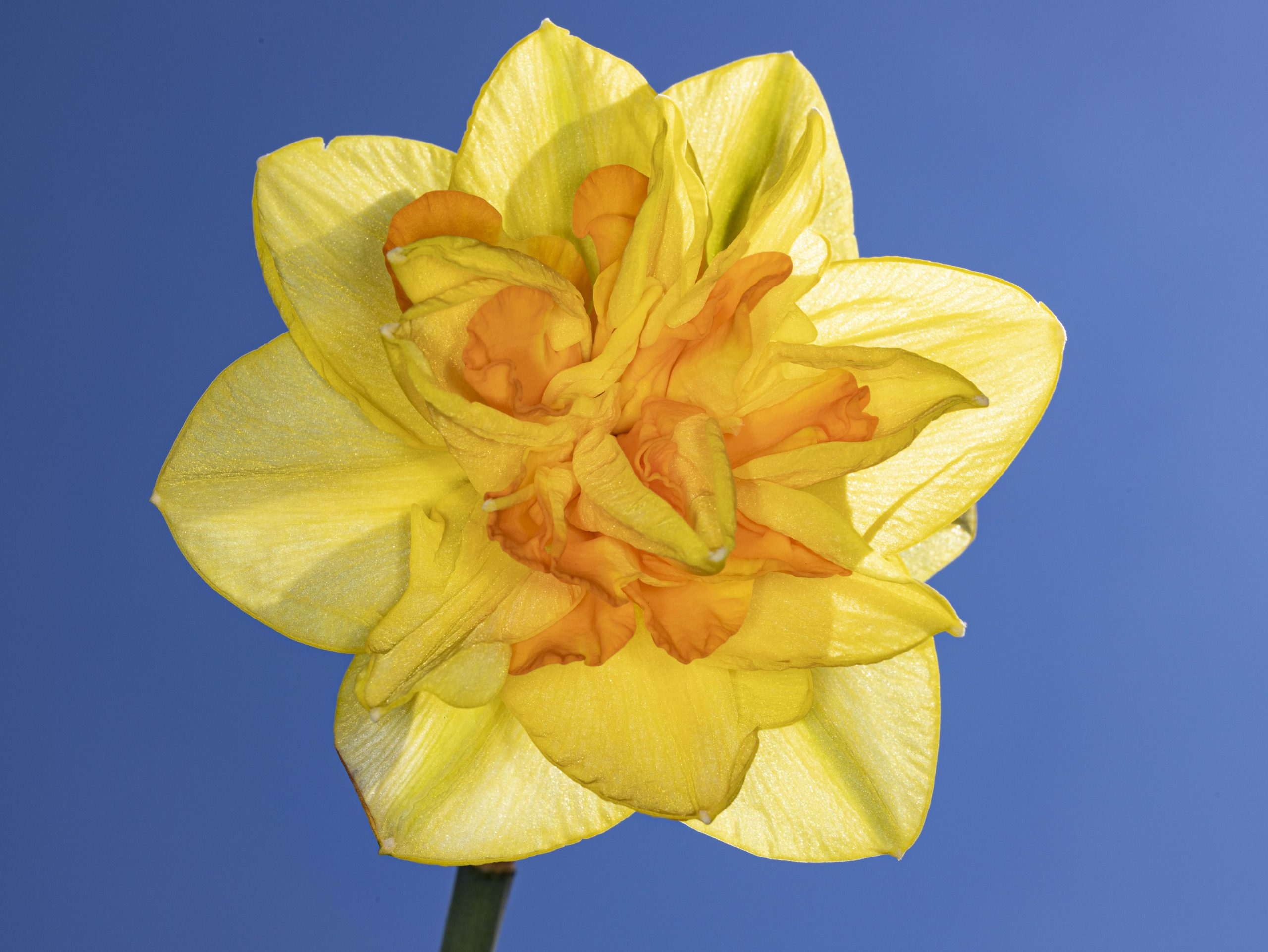 ..on a Daffodil at Robertson Park