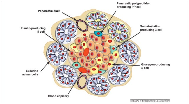 pancreatic-cells