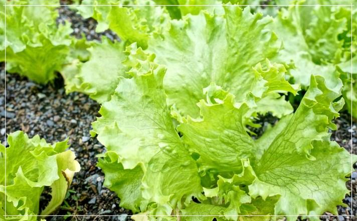 福山萵苣收成囉! – 同心學綠