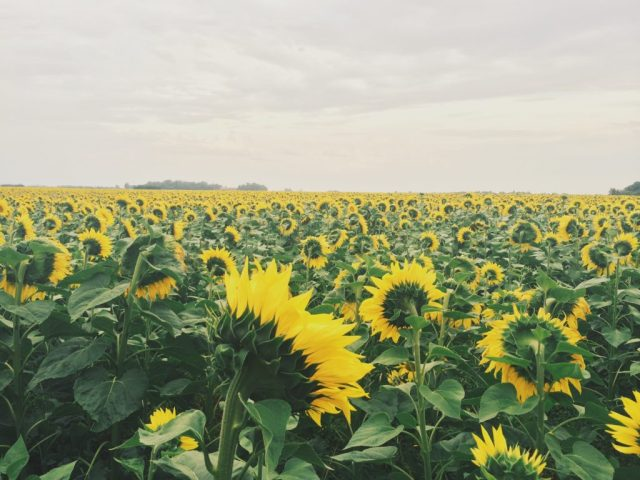 Blogger_france_travel_rooftopantics_sunflowers_france_indre