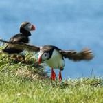 In Island Papageientaucher sehen