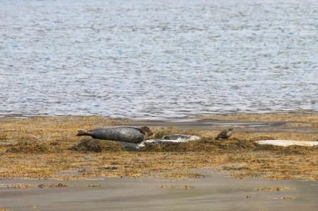 Die Seehunde lagen auf einer Sandbank ungefährt 40 bis 50 Meter neben der Strasse von Ísafjörður nach Reykjavik.
