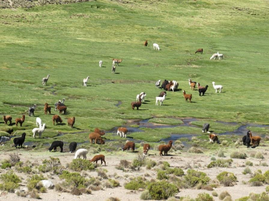Obligatorisch für die Anden: Lamas.