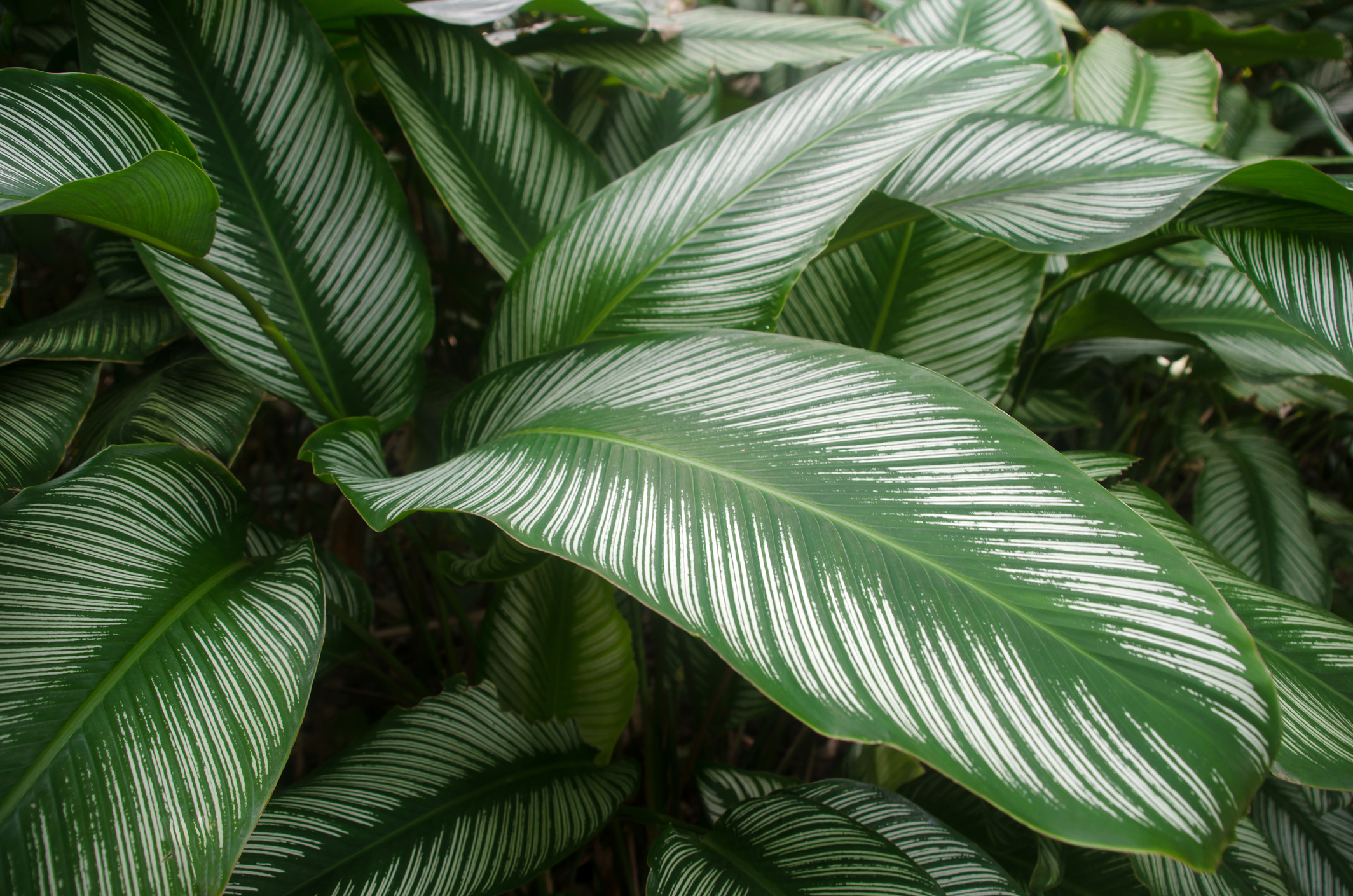 Wildernis alles over de buitenaards mooie Calathea  Roomed
