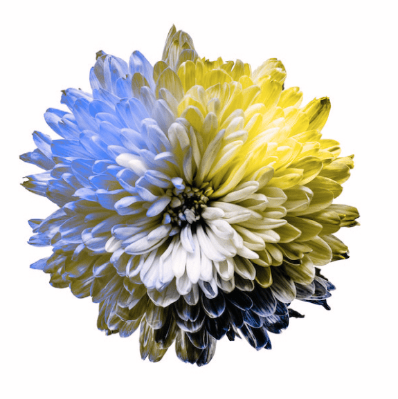 A flower depicting the color spectrum in Protanopia