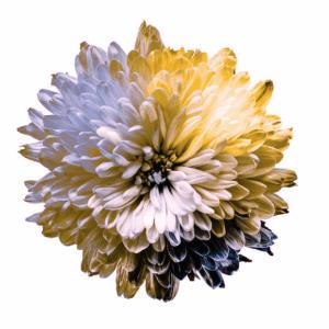 A flower depicting the color spectrum in Deuteranopia