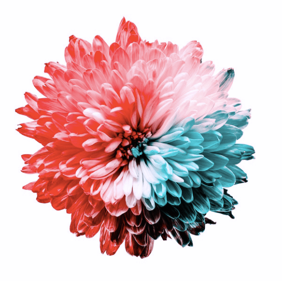 A flower depicting the color spectrum in Tritanopia