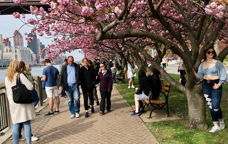 4-24-21 Roosevelt Island: More Cherry Blossoms, More Broken Promises