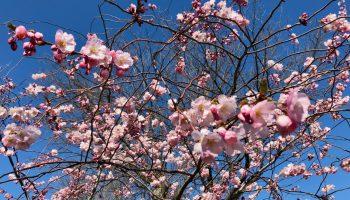Roosevelt Island Cherry Blossoms