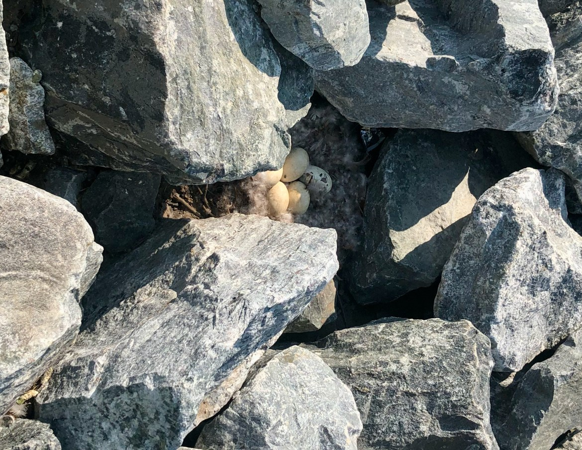 The Last Roosevelt Island Goslings…? Is this nature's future here?