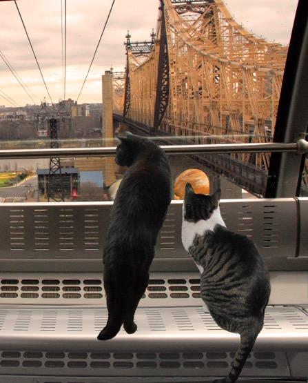 Cats Riding the Roosevelt Island Tram