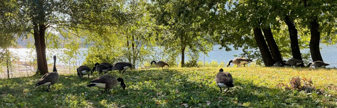 Canadian Geese Graze Through a Gentle Autumn in Southpoint Park