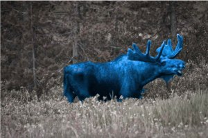Blue-Moose