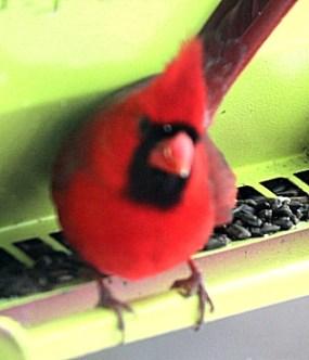 male_cardinal_20150204