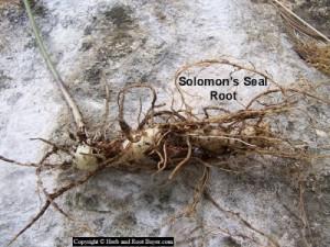 Solomons Seal Root  Polygonatum biflorum  Root Buyer