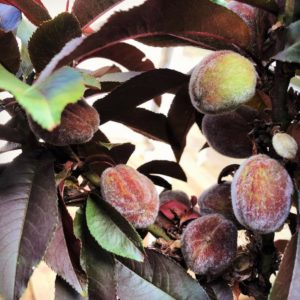 6 fruit trees that look as good as they