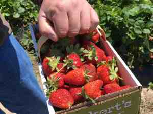 Local foods strawberries