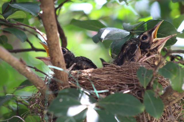 baby-robins-in-nest