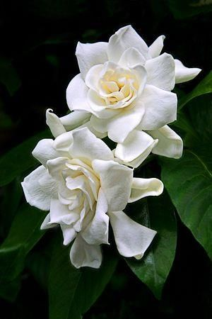 Gardenia Flowers for Winter Wedding