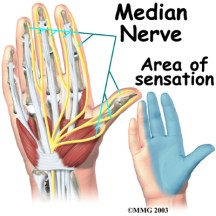 Shibari safety, anatomy of the hand. Median nerve