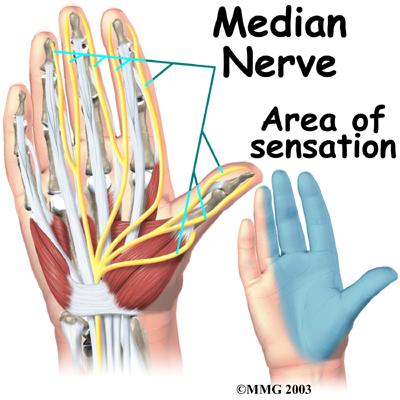 hand_anatomy_nerves03
