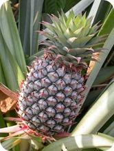 Pineapple-bromelain